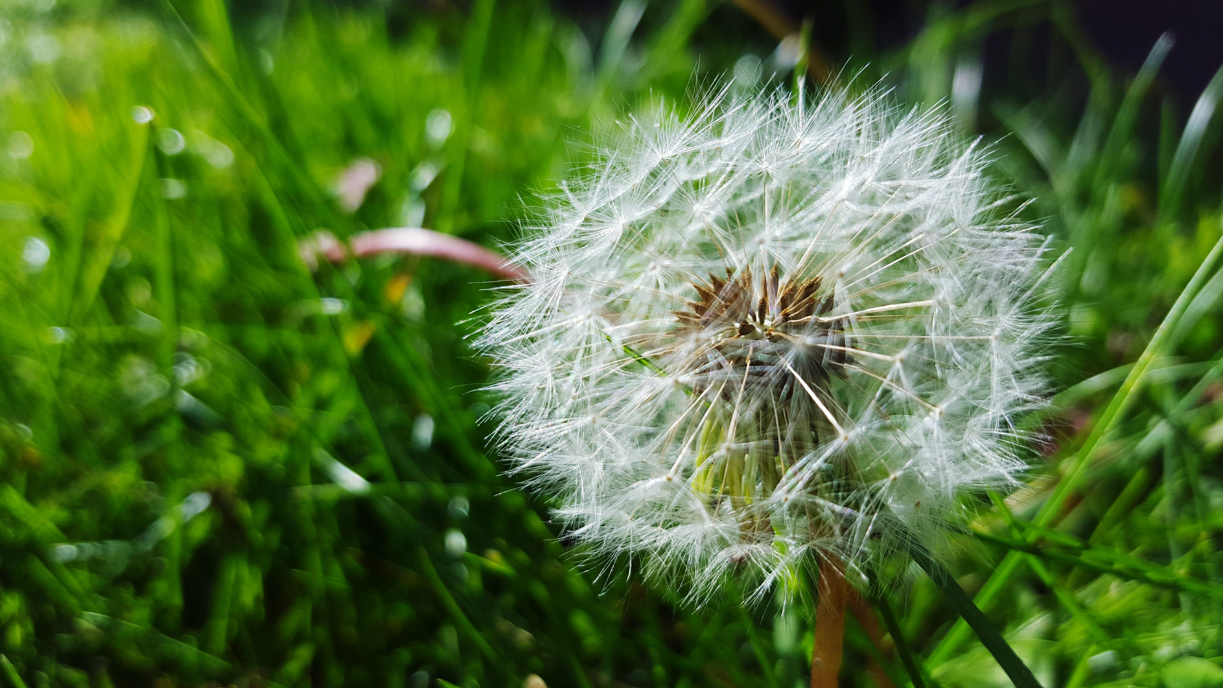 dandelion, flower, fragility, freshness, growth, close-up, flower head, single flower, beauty in nature, focus on foreground, nature, softness, plant, uncultivated, wildflower, white color, dandelion seed, stem, selective focus, day