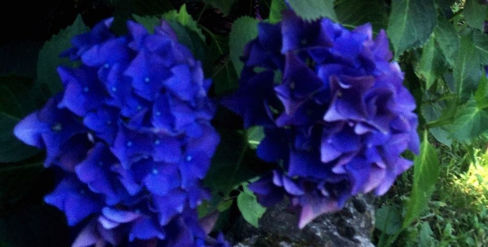 Two Is Better Than One Petal Beauty In Nature Blue Nature Plant Vibrant Color Outdoors