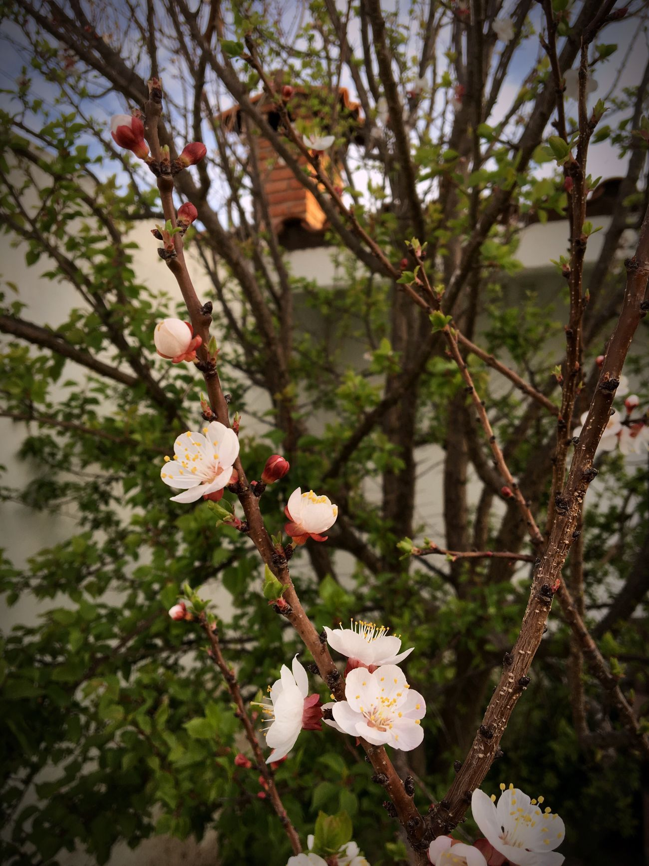 Flowers Growth Flower Tree Nature Beauty In Nature Blossom Springtime Branch Fragility Close-up No People Twig Freshness Petal Day Outdoors Flower Head Plum Blossom