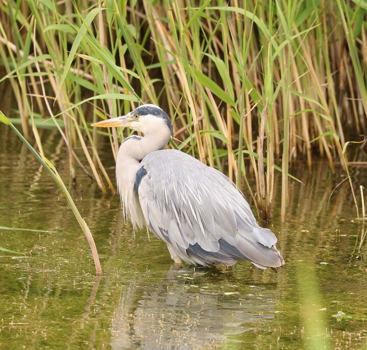 bird, heron, one animal, lake, animals in the wild, animal wildlife, water, animal themes, nature, gray heron, beauty in nature, day, beak, outdoors, no people, perching, close-up