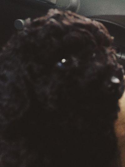 New dog. Name is tuddi❤️