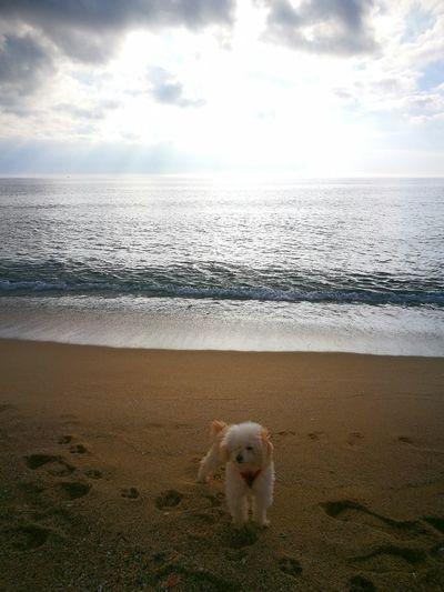 Beach Sky Cloud - Sky Animal Themes One Animal Water Day Caniche Canichetoy Sea