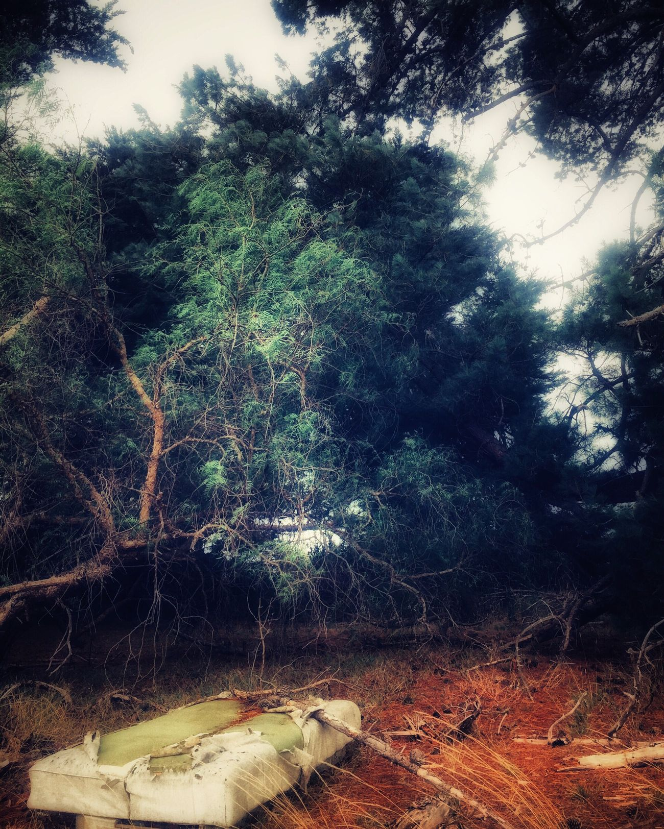 Room for two? Tree Nature Forest No People EyeEm Best Edits Outdoors Decay Rubbish Leftbehind Pine Trees Australia
