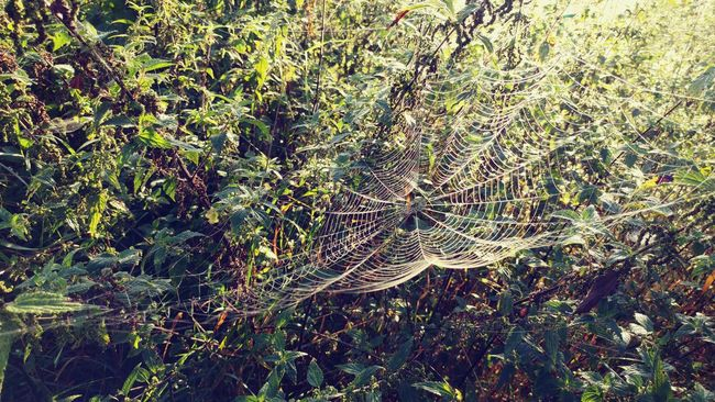 Beauty In Nature Grass Green Zielen Trawa Natura Nature Spiderwebs Spiders Web Spider Web Plant Lg G5 LG  Lgg5photography Smartphonephotography Smartphone Photography