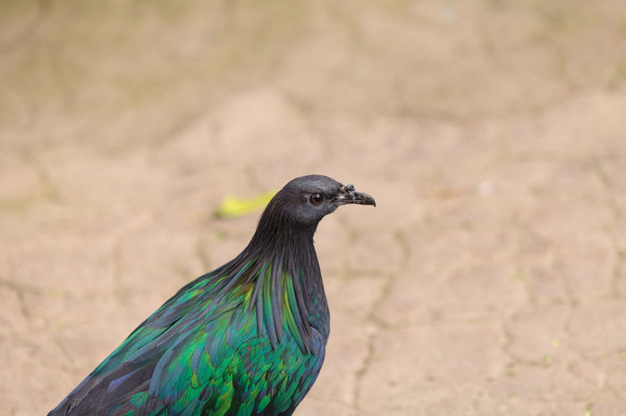 Nicobar pigeon called Caloenas nicobarica is found in New Guinea, Nicobar and Luzon. Caloenas Nicobarica Nicobar Nicobar Pigeon Animal Themes Animal Wildlife Animals In The Wild Bird Close-up Day Focus On Foreground Green Bird Nature New Guinea No People One Animal Outdoors Perching Pigeon