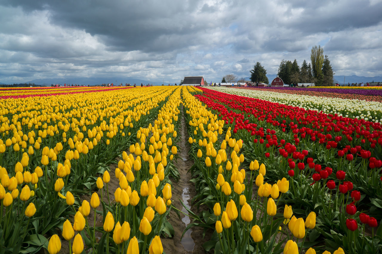 Beautiful stock photos of tulip, Agriculture, Beauty In Nature, Botany, Cloud - Sky