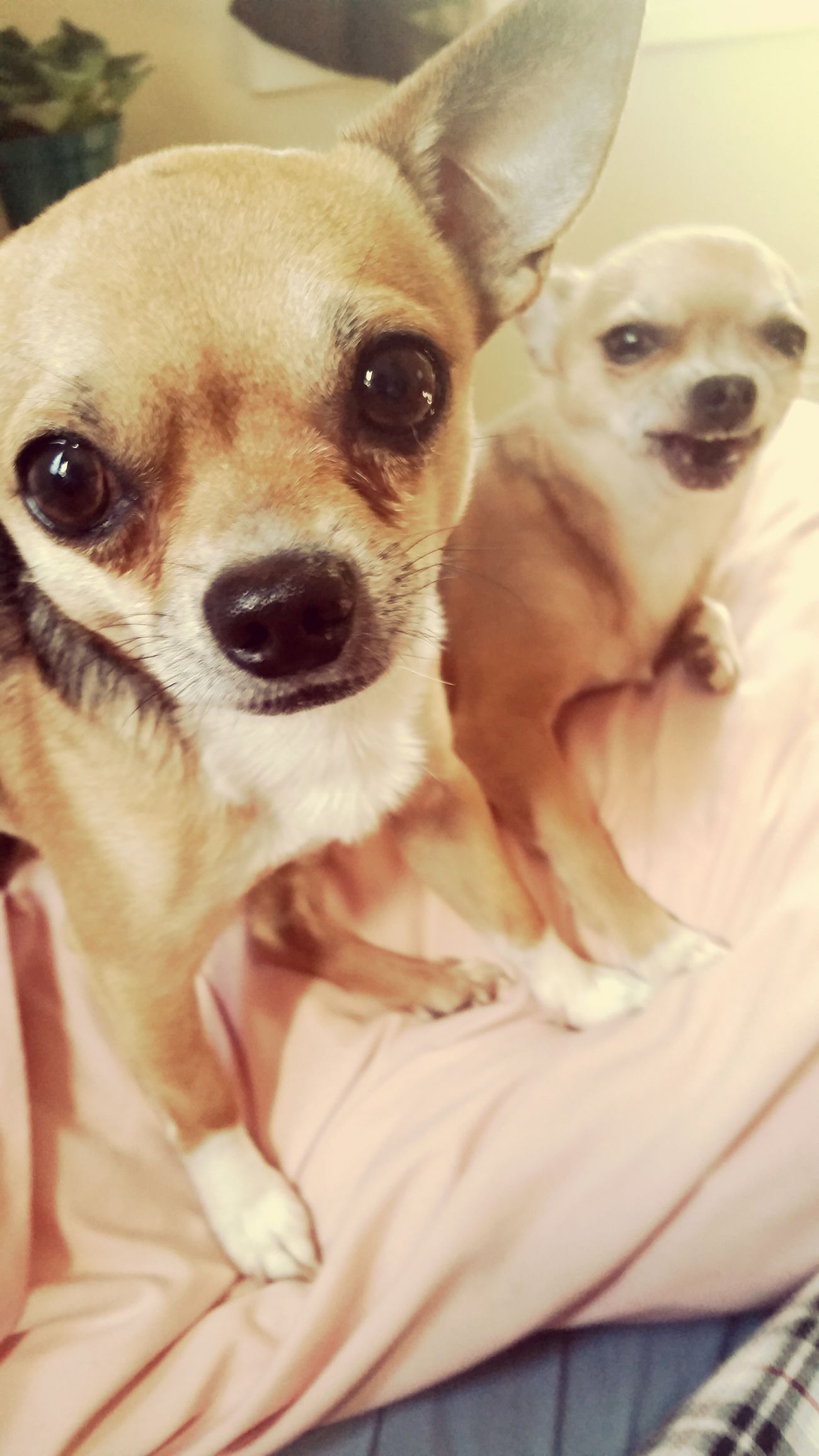 Hanging Out Check This Out Chihuahuas<3 Lovemydogs