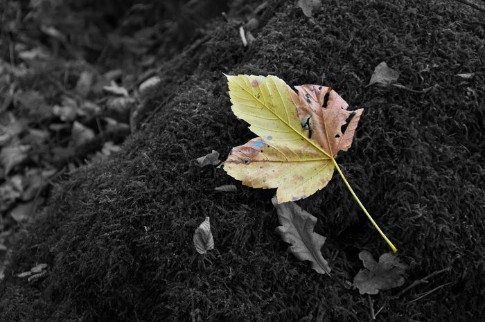 Blatt Blatt Herbst Autumn Background Beauty In Nature Blackandwhite Close-up Colorful Day Leaf Nature No People Outdoors