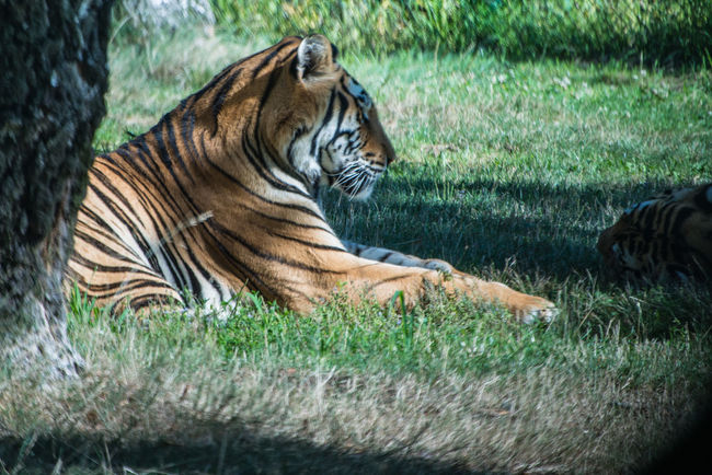 tiger in nature safari Animal Markings Close-up Day Fauna Feline Field Focus On Foreground Grass Grassy Mammal Nature Nature No People Outdoors Safari Sand Tiger Colour Of Life