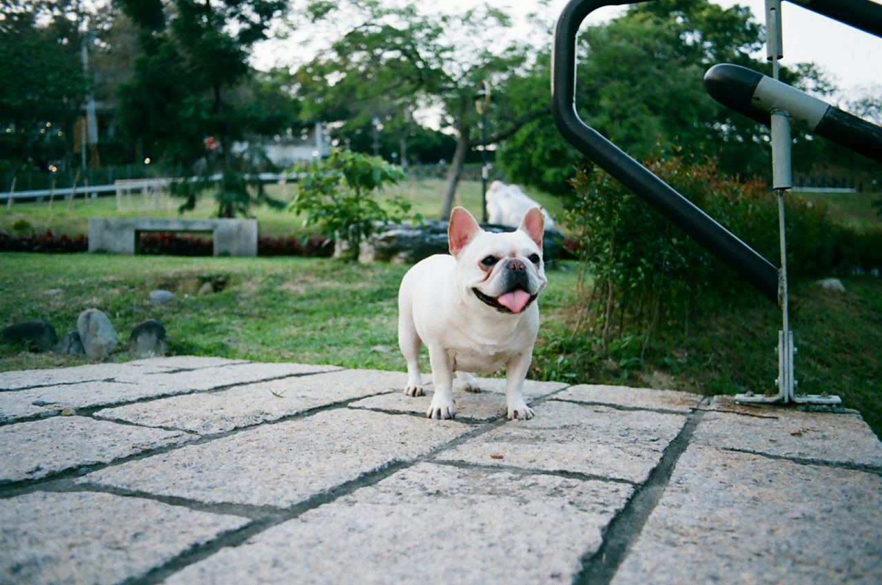 Tounge Out  Toungeouttuesday Playing With The Animals Frenchbulldog Cute Pets Filmisnotdead Film Photography 35mm Film Pets Corner Pets 鐵蛋