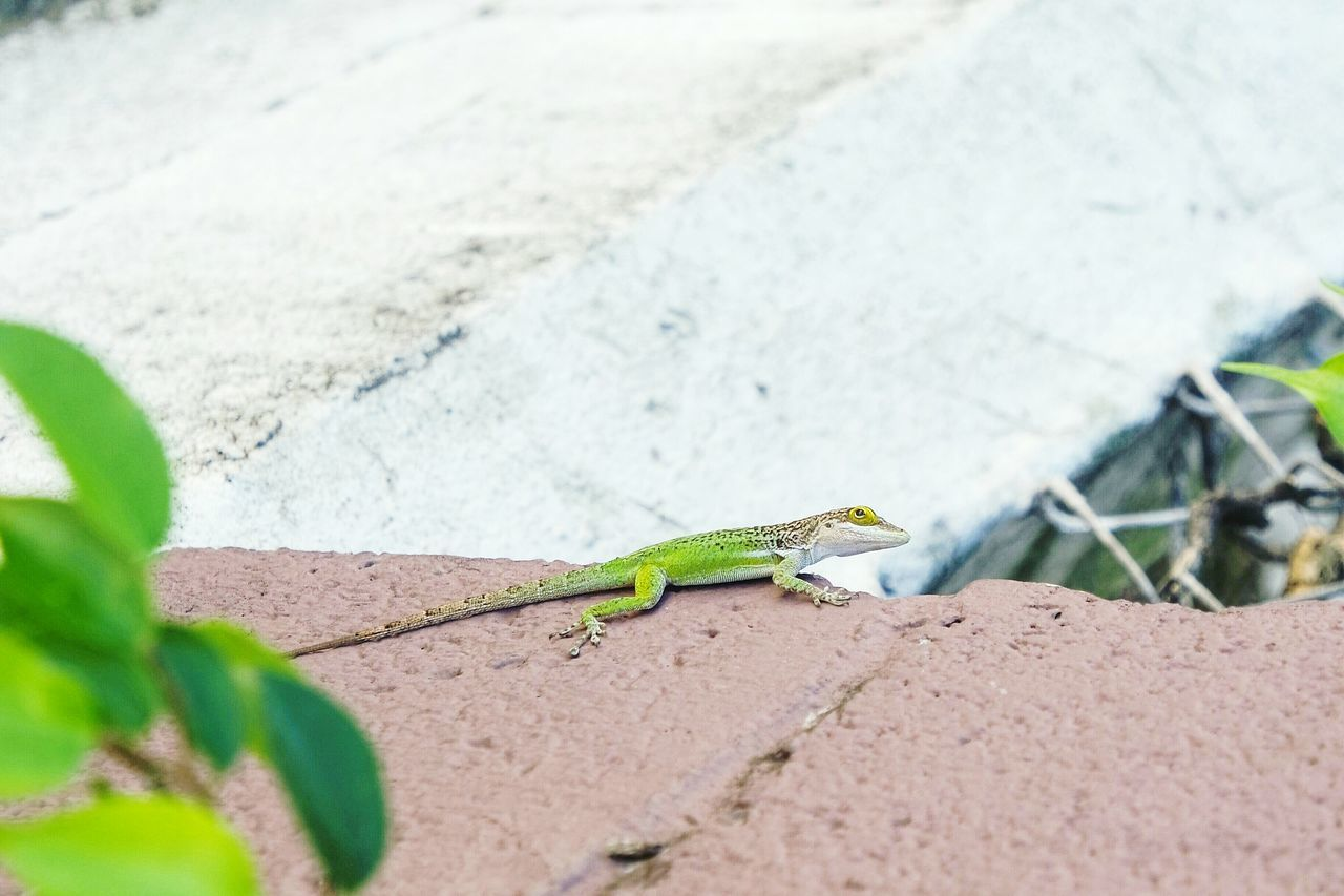 Green lizard in Antigua One Animal Animals In The Wild Green Color Animal Wildlife Animal Themes Reptile Outdoors Lizard Day Close-up Gecko No People Chameleon Eye4photography  Open Edit Fresh 3 Travel Destinations EyeEm Best Shots Nature Photography