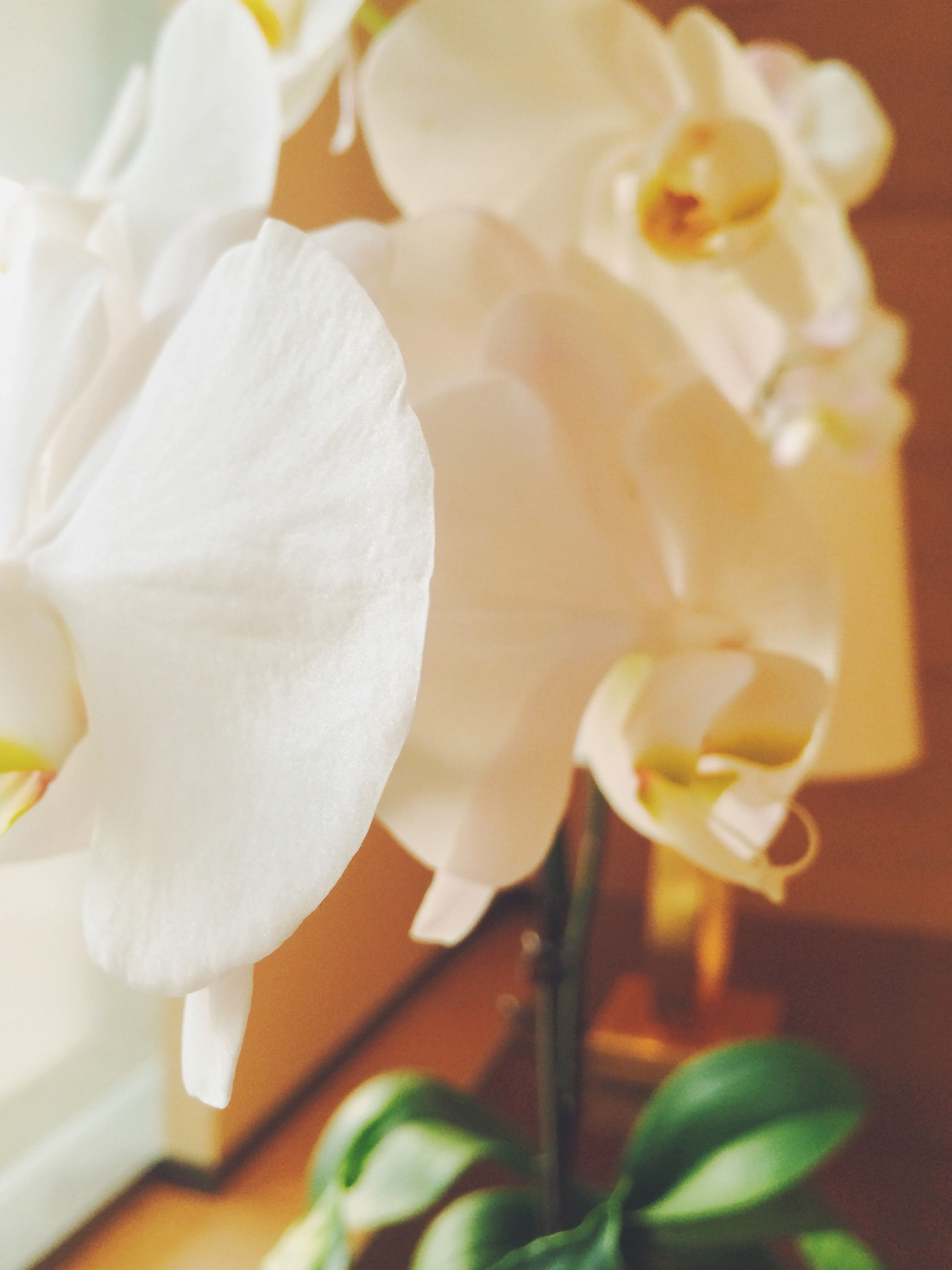 flower, petal, indoors, flower head, freshness, fragility, close-up, white color, beauty in nature, growth, vase, nature, table, focus on foreground, no people, plant, selective focus, blooming, yellow, home interior