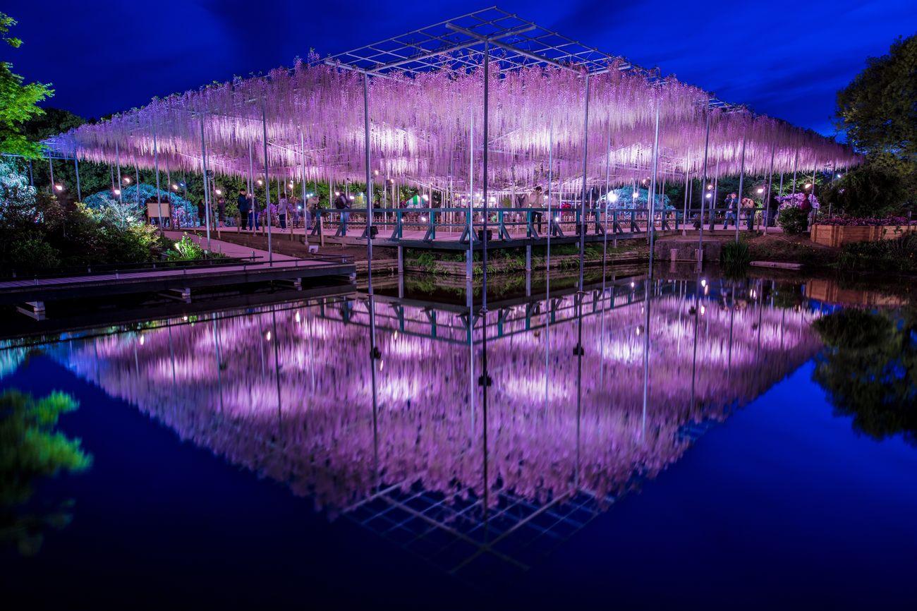 あしかがフラワーパーク 藤 花 反射 水面反射 Wisteria Ashikaga Flower Park Reflection Reflections Water Reflections Japan 日本