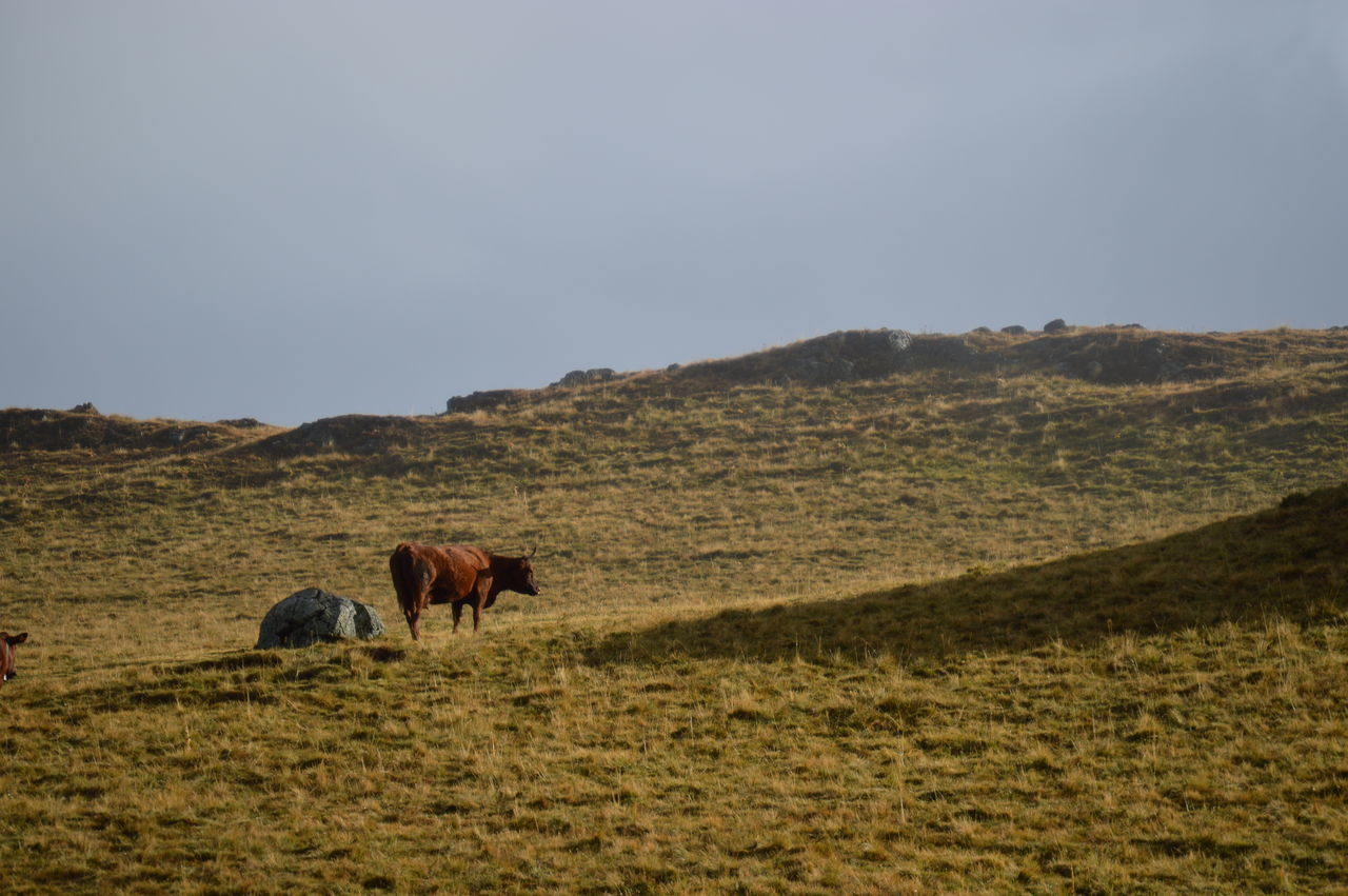 Animal Themes Cow Cows Domestic Animals Grazing Herbivorous Mammal Misty Mountain Saint-nectaire Saint-Nectaire Cheese