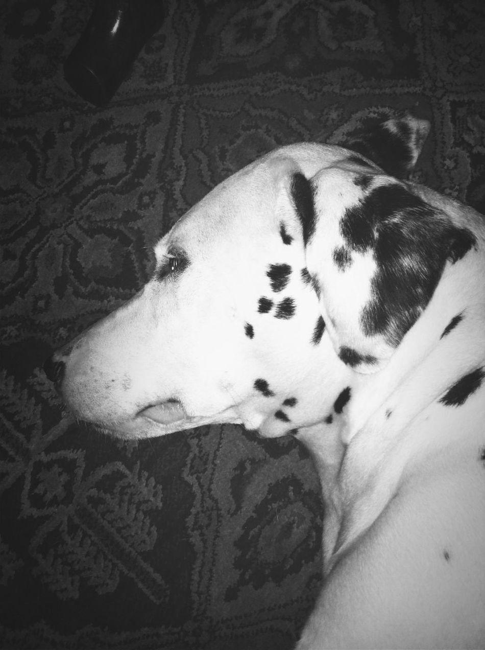Sleepyhead Bw_dogs TheMinimals (less Edit Juxt Photography)