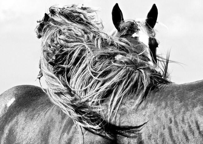 Q Quadruped Quadrupeds Quadrupedal Horse Horses Criniere Black And White Noir Et Blanc Wind Monochrome Let Your Hair Down My Favorite Photo Blackandwhite Photography Bnw_collection Two Is Better Than One Monochrome Photography