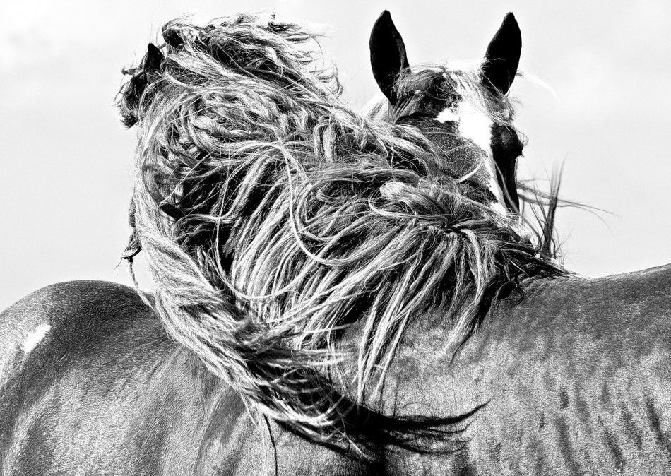 Q Quadruped Quadrupeds Quadrupedal Horse Horses Criniere Black And White Noir Et Blanc Wind Monochrome Let Your Hair Down My Favorite Photo Blackandwhite Photography Bnw_collection Two Is Better Than One Monochrome Photography