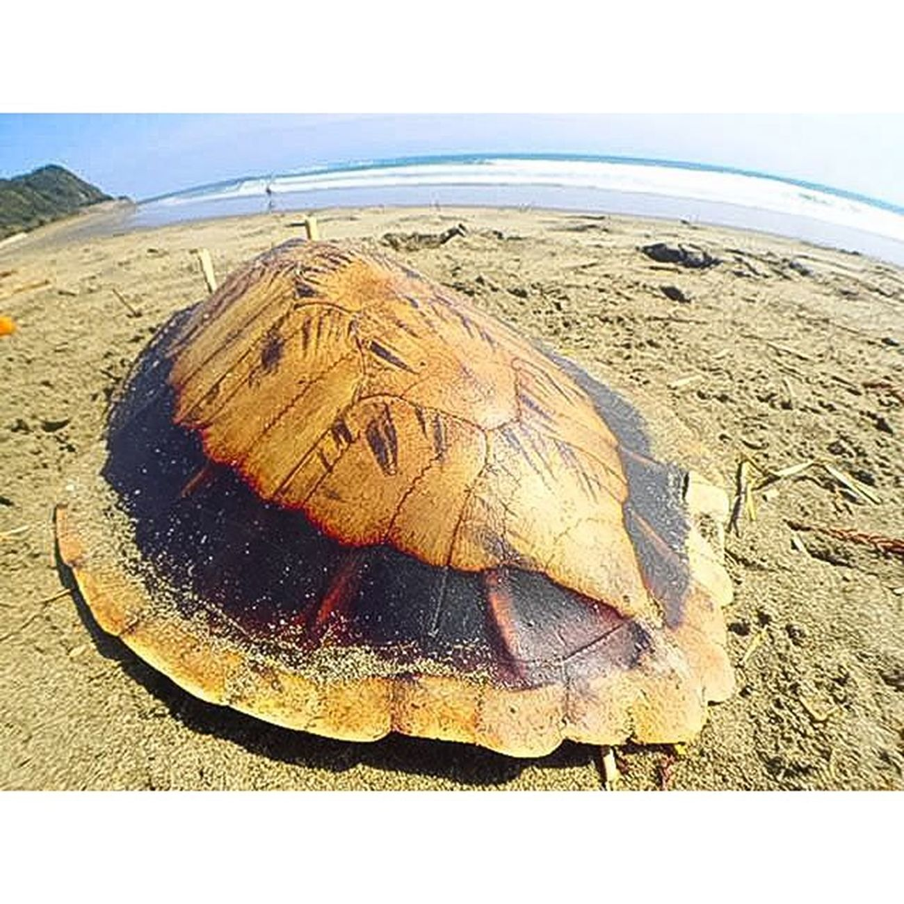 アオウミガメの甲羅。マンライズ マンライズサーフトリップ