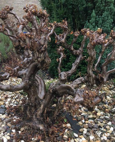 Wurzelbaum Zauberbaum🌾 Korkenzieher Korkenzieherhasel Nature Tree Growth Outdoors Tranquility Forest Tranquil Scene Tree Trunk No People Beauty In Nature Day Scenics Close-up Tree Baum