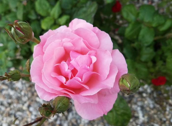 Pink Color Beauty In Nature Nature Rose - Flower