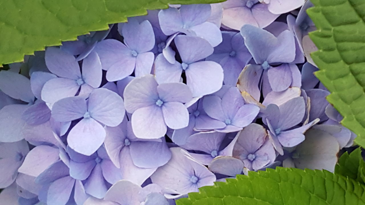 flower, petal, beauty in nature, purple, growth, fragility, plant, nature, freshness, leaf, hydrangea, no people, flower head, close-up, day, outdoors, blooming