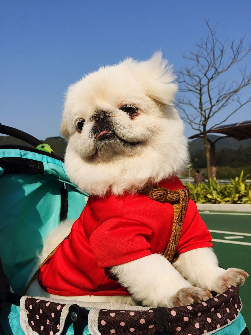 Cowcow Happy Day Hanging Out Sunny Day HongKong Clear Sky Doggie Pekingese Dog Love Things I Like Pet Photography  Dog
