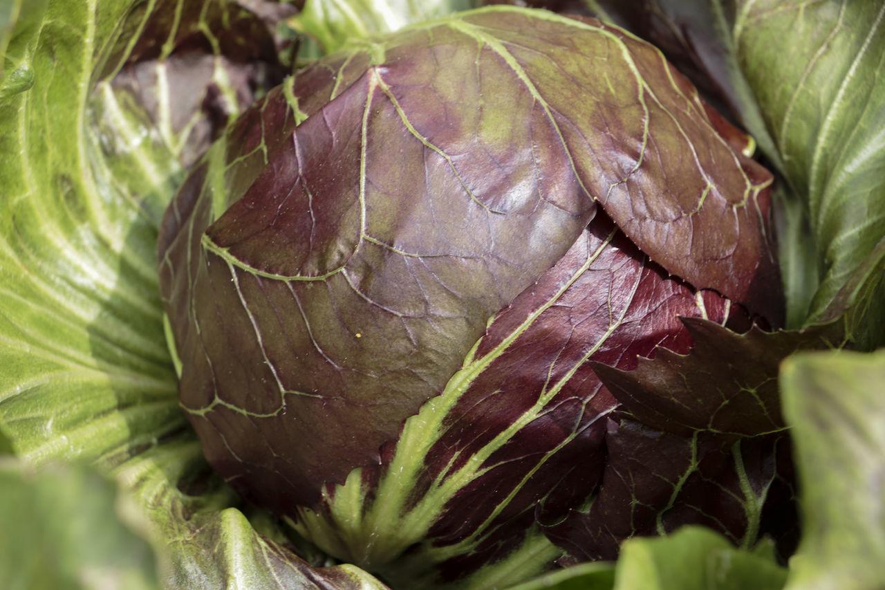 Botany Chicory Chioggia Food Italian Food Italianfood Nature Radicchio Specialità Italiane Verdura Chioggia, Italy