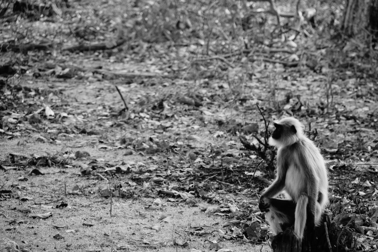 Animals In The Wild Animal Wildlife Langur Black & White No People Old Pic  One Animal NagarholeNationalPark Kabini