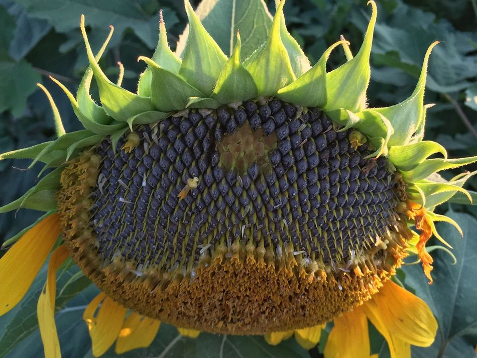 Faded Sunflower. Close-up Growth Nature Outdoors Day Plant No People Beauty In Nature Seed Freshness Sunflower