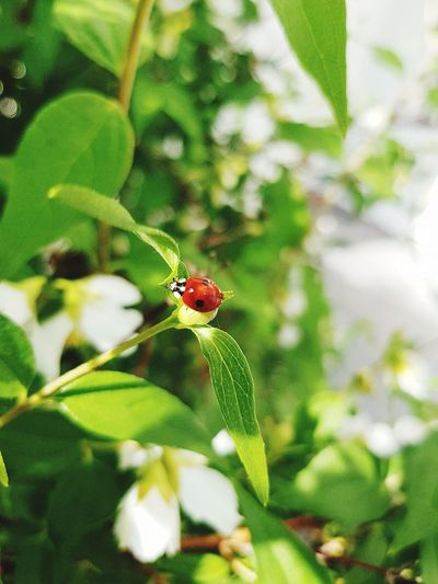 🐞 EyeEmNewHere Ladybug Fragility Outdoors Close-up Day No People Green Color Nature Animal Wildlife Leaf Plant Flower Insect Beautiful Sunlight Beauty In Nature Plant 🌿☘️🌲🍃