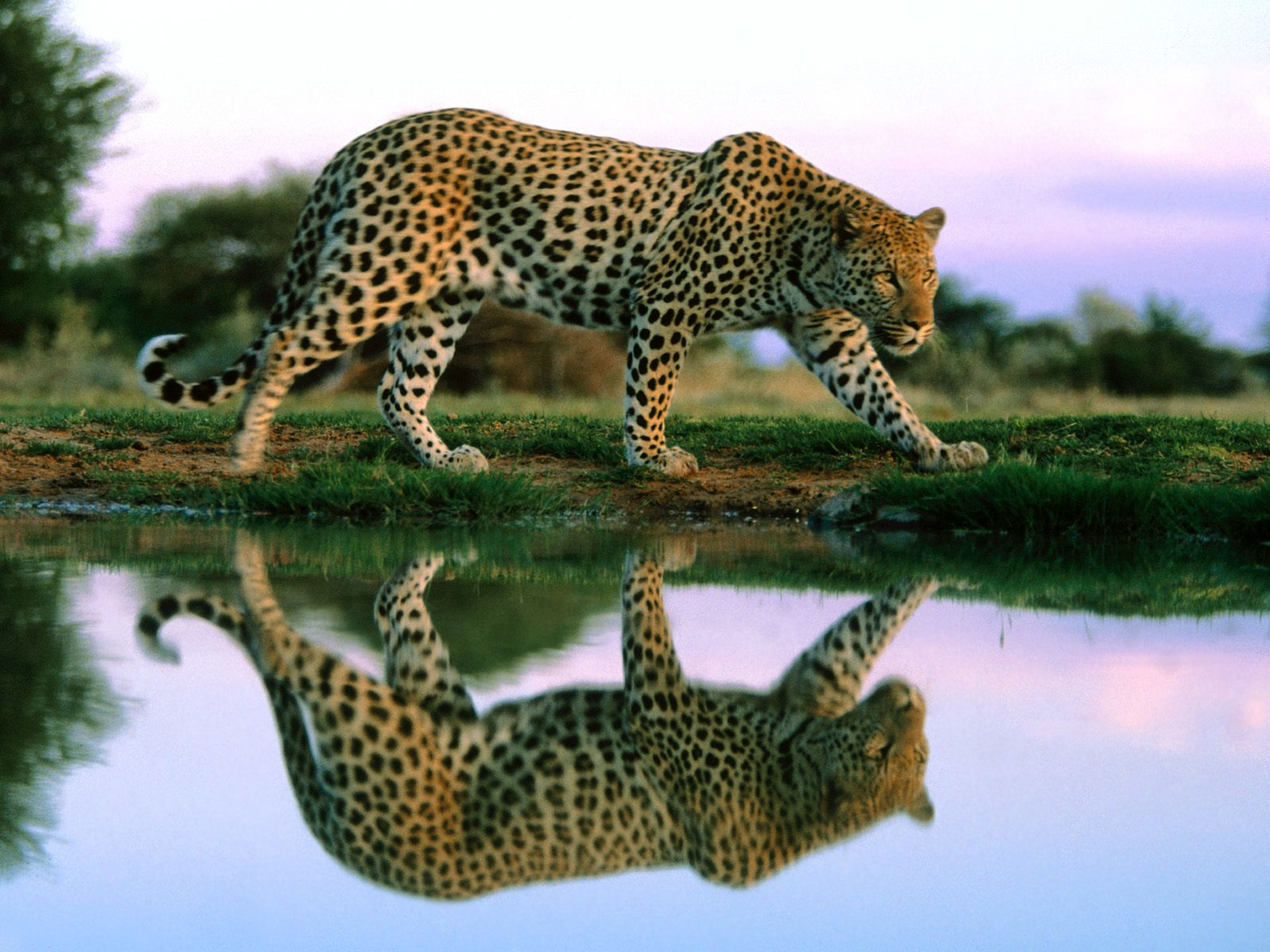 animal themes, animals in the wild, wildlife, mammal, one animal, safari animals, animal markings, giraffe, leopard, side view, undomesticated cat, relaxation, forest, zoo, nature, big cat, tiger, cheetah, day, carnivora
