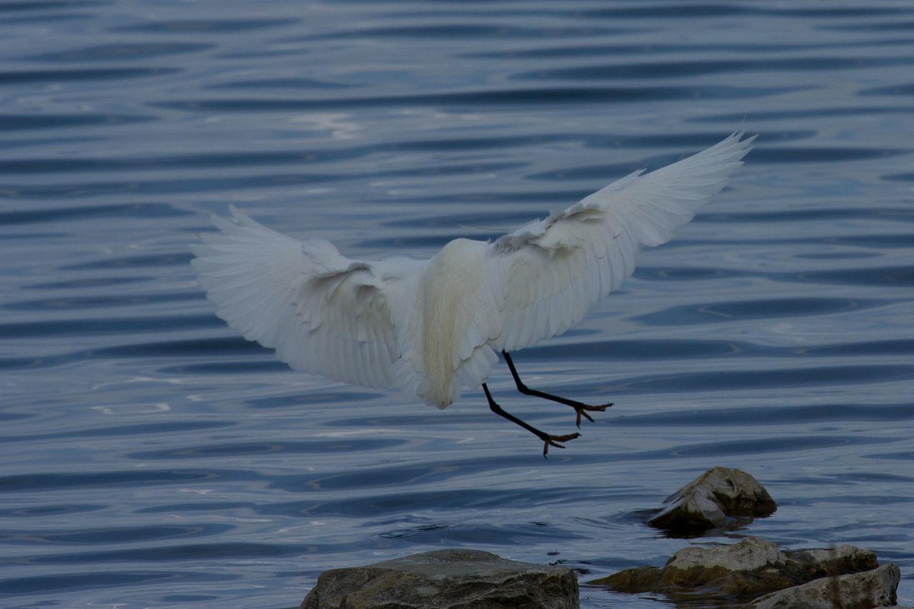 Airone Bianco Maggiore Bird