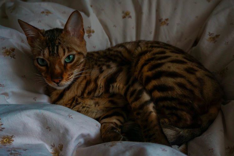 chilling little tiger #2 Bengal Cat Cat Mammal One Animal Animal Pets Domestic Animals Close-up Indoors  No People