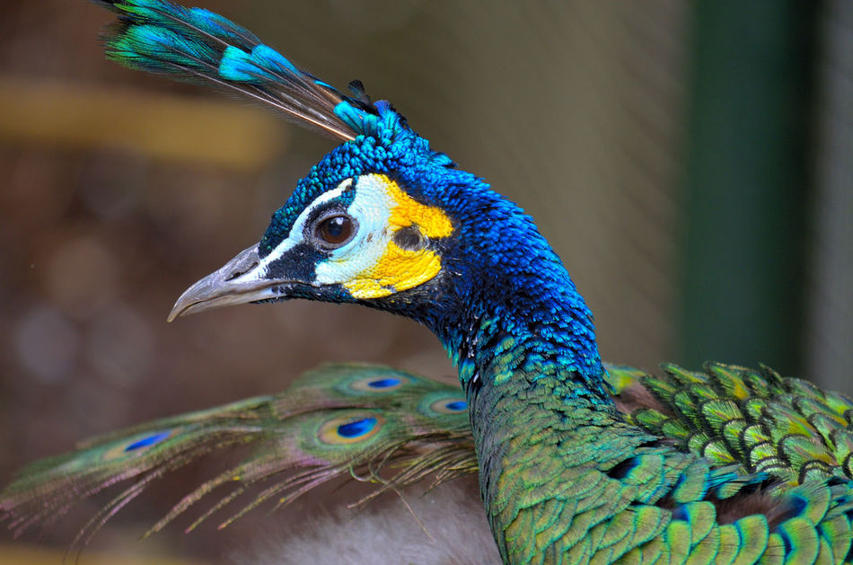 Beautiful stock photos of pfau, Multicolored, alertness, animals In The Wild, avian