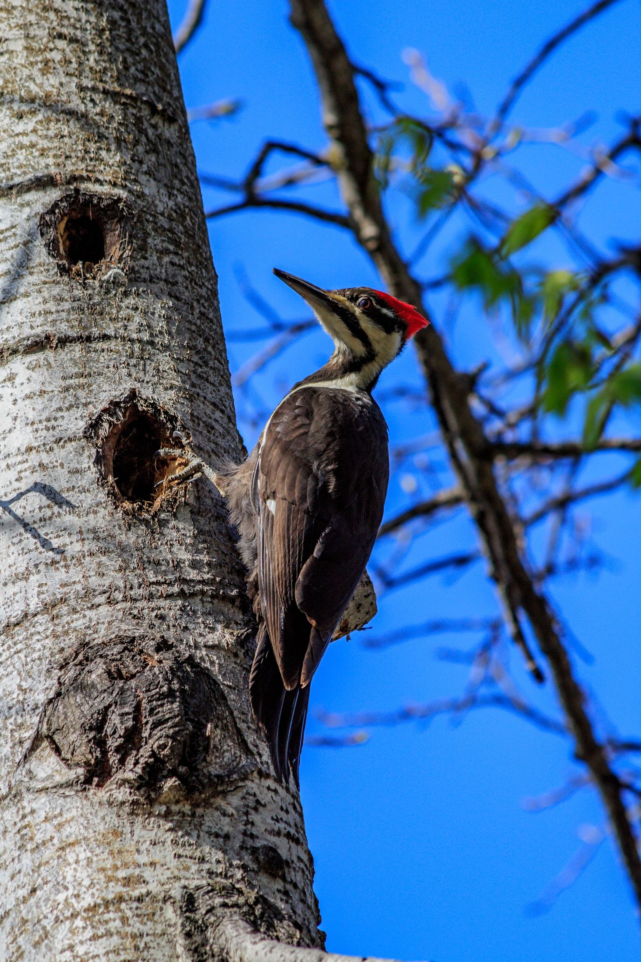 Animal Themes Animals In The Wild Bird Bird Photography Bird Watching Birds Birds_collection Day Nature No People One Animal Outdoors Pileated Woodpecker Toronto Zoo WoodLand Woodpecker Woodpecker In Tree Woodpeckers Zoo Animals
