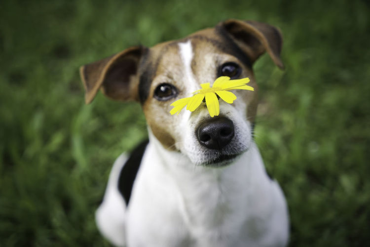 Allergy Allergy Season Animal Themes Bloom Blossom Close-up Day Dog Domestic Animals Grass Hay Haying Time Fever Jack Russell Terrier Looking At Camera Mammal Nature No People One Animal Outdoors Pets Portrait Puppy Spring Summer