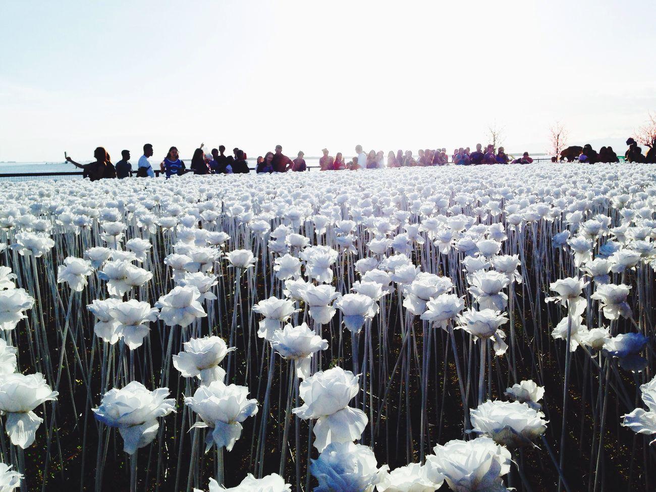 10k roses