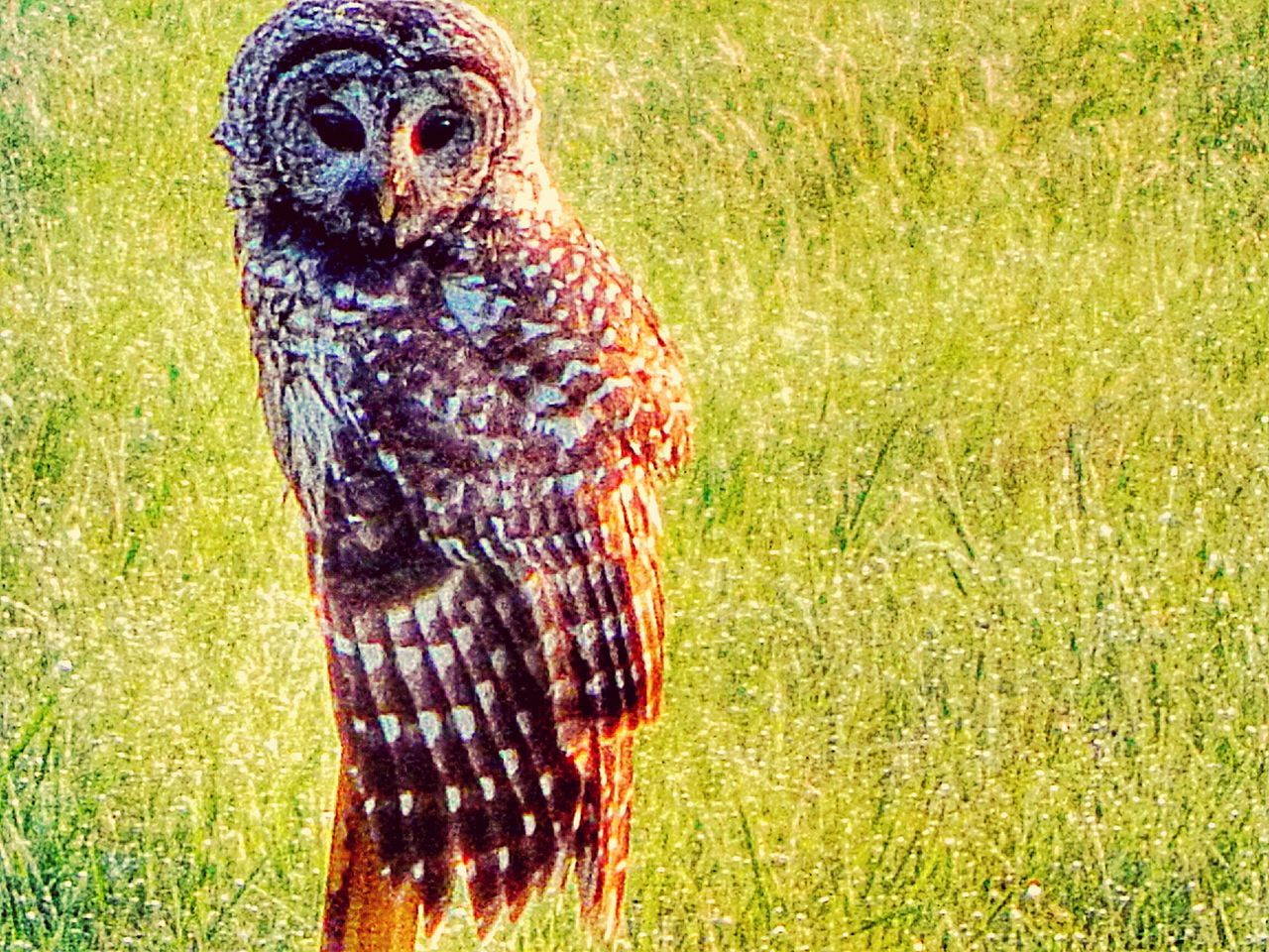 grass, one animal, bird, nature, field, animal themes, green color, outdoors, no people, day, domestic animals, bird of prey
