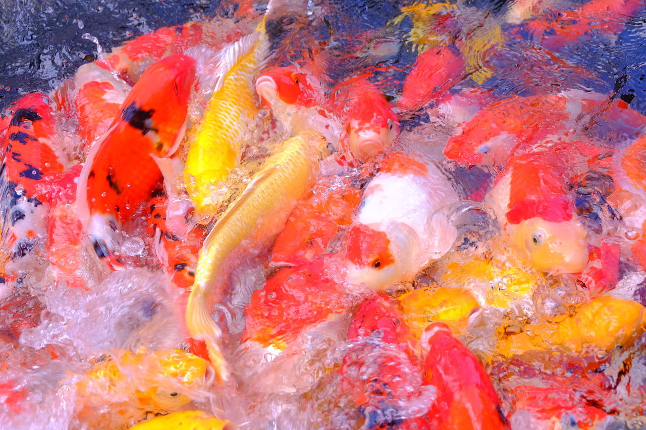 Fancy carp fish in pool Animal Carp Fish Color Colorful Fancy Carp Fancy Carp Fish Feed  Fish Masses Pool Swarm