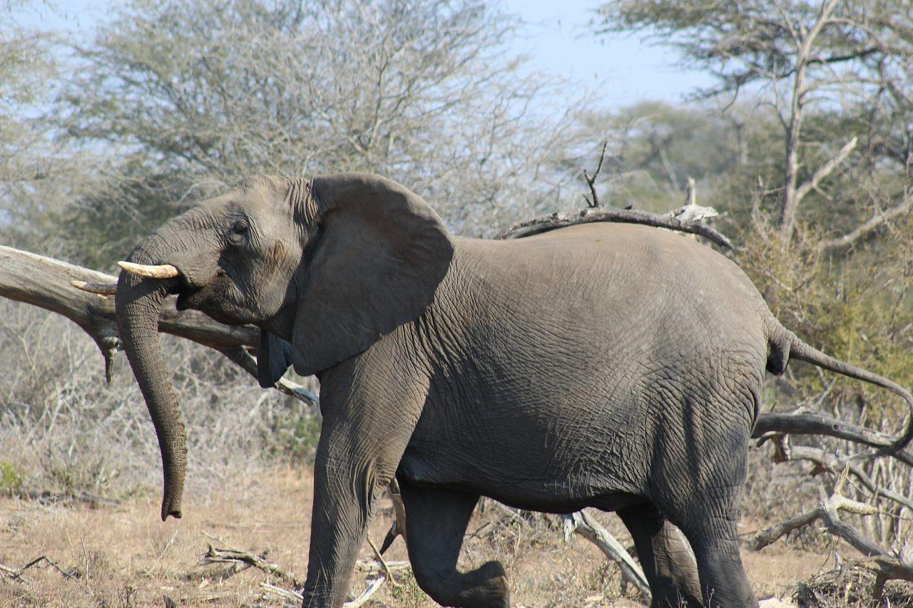 African Elephant Animal Themes Animal Wildlife Animals In The Wild Day Elephant Grass Mammal Nature No People One Animal Outdoors Safari Animals Sky Tree Tusk