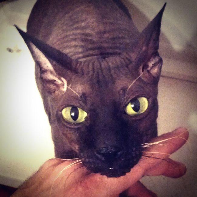 Cat Cats Cat Sphinx Spinx Eyes Look