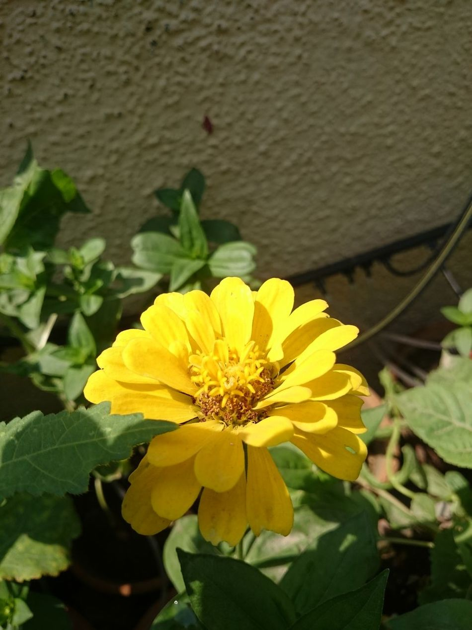 This large yellow flower looks beautiful, with large petals and attracts a number of insects and bees, making it very beneficial for the garden. Beautiful Flower Beautiful Flowers Big Yellow Flower Flower Flower And Plant Flower In Home Garden Petals Of A Flower Yellow Flower Yellow Petals