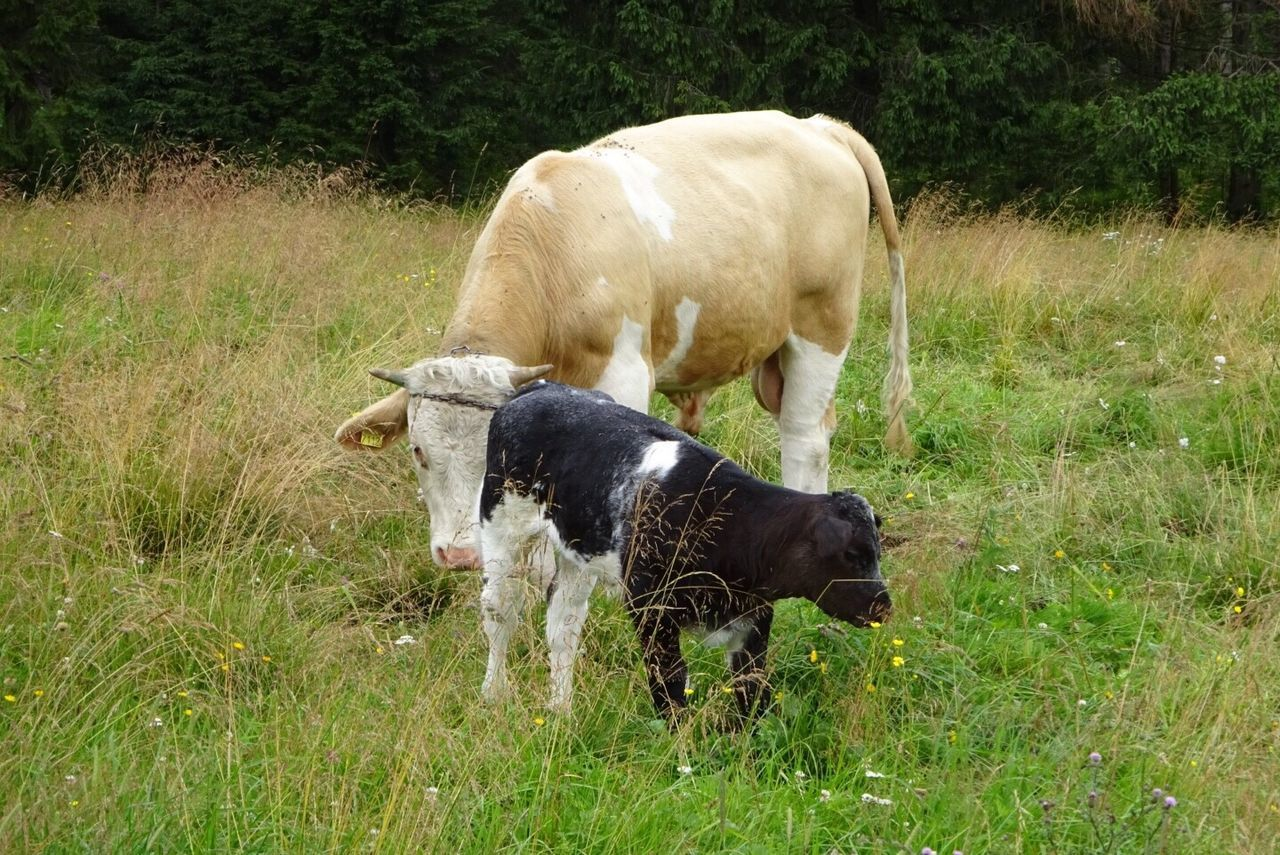 grass, mammal, domestic animals, field, animal themes, nature, cow, livestock, no people, outdoors, day, growth