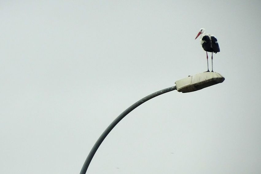 Stork. Ciconiidae Ciconia Ciconiiformes Streetlight Streetlamp Cigueña Stork Bird Animals In The Wild Animal Wildlife One Animal Animal Themes Day Full Length No People Perching Outdoors Nature Copy Space Clear Sky Low Angle View The Graphic City