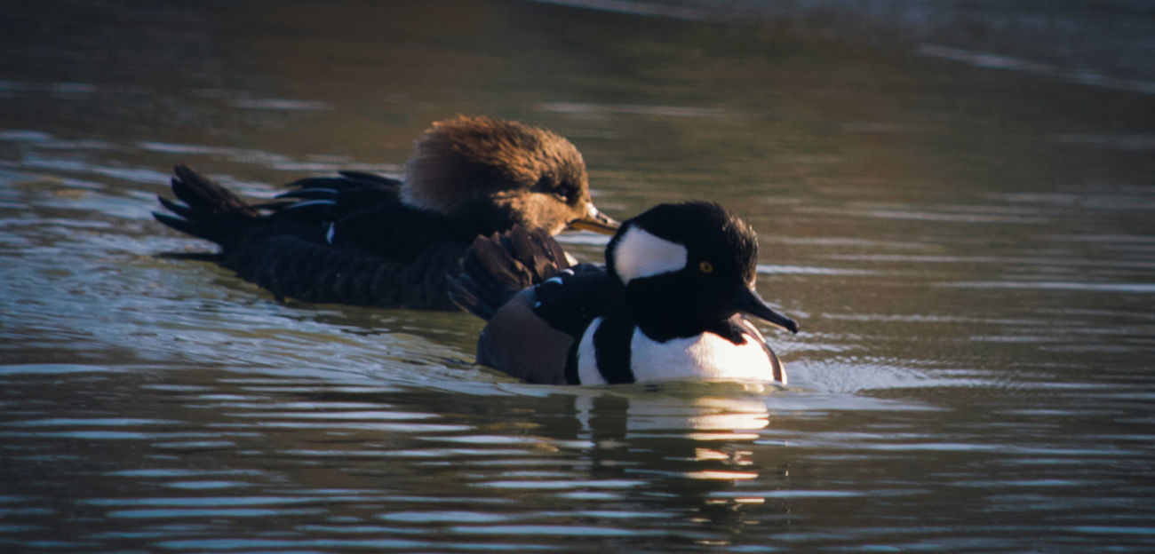 Mergansers Beauty In Nature Animal Wildlife Bird Animals In The Wild Animal Themes Nature Riverside Photography Riverside Riverside Wildlife Wildlife & Nature Wildlife Birds Wildlife Wildlife Photography Beautiful Animals  Natural Beauty My Point Of View My Unique Style Beautiful Nature Water Bird EyeEm Nature Lover