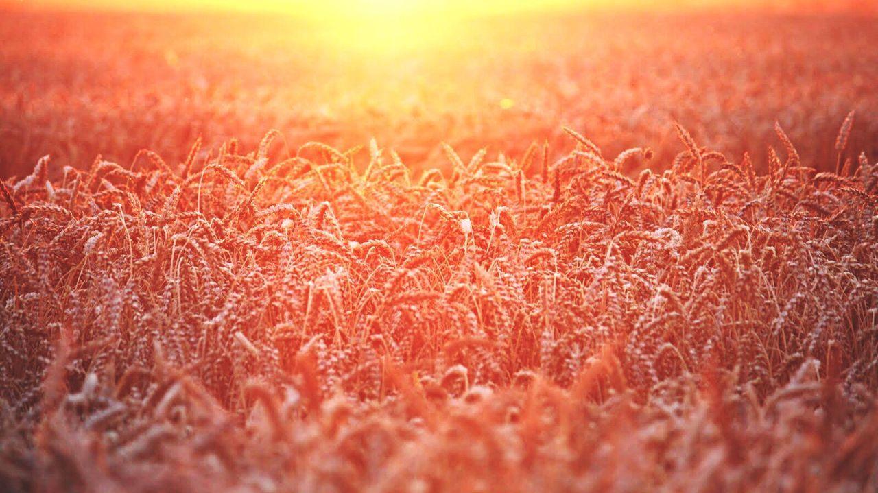 Nature Sunset Growth Beauty In Nature Backgrounds Wheat Field Wheat Burningfield