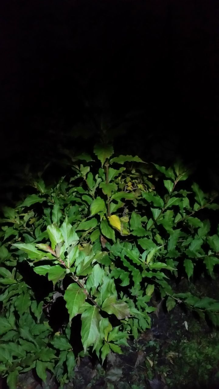 growth, nature, plant, green color, no people, night, beauty in nature, leaf, outdoors, fern, freshness, close-up