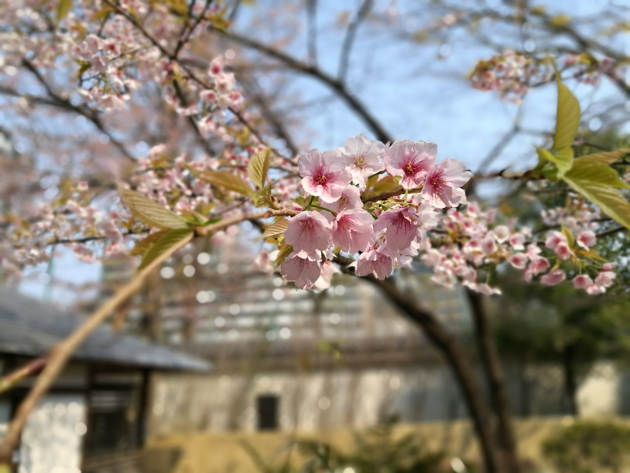 flower, tree, fragility, beauty in nature, cherry blossom, growth, branch, nature, blossom, springtime, pink color, freshness, cherry tree, apple blossom, no people, petal, day, orchard, botany, focus on foreground, outdoors, low angle view, close-up, flower head, blooming, plum blossom, building exterior, architecture, sky