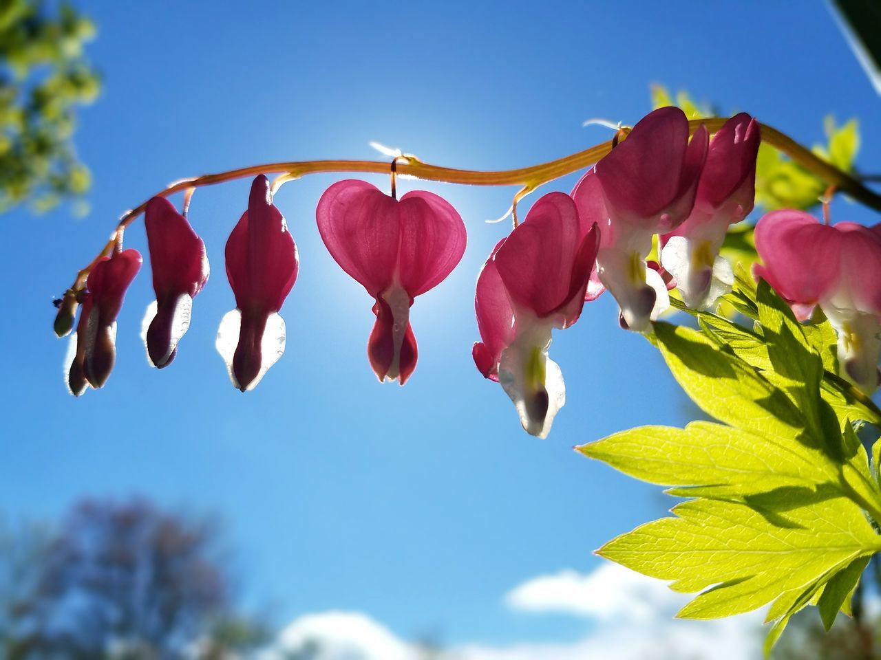 Flower Flowers Bleeding Heart  Bleeding Heart Flowers Bleedinghearts Plant Clear Sky Nature Beauty In Nature Naturelovers Nature_collection Nature Photography Outdoors Spring