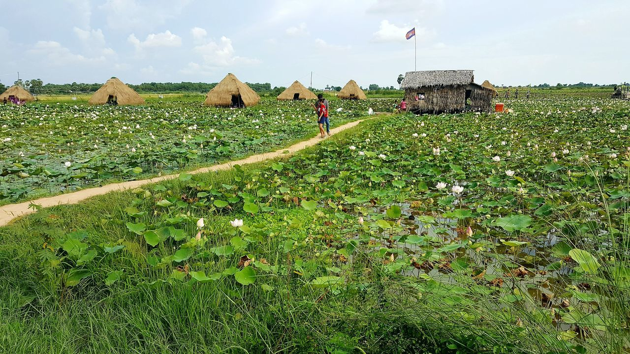 Agriculture Crop  Field Rural Scene Growth Nature Day Cambodia Lotus Farm Green Floating Huts
